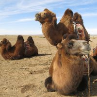 voyage-moto-mongolie-chameaux-monsieur-pingouin