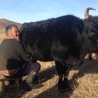 voyage-moto-mongolie-traite-lait-monsieur-pingouin