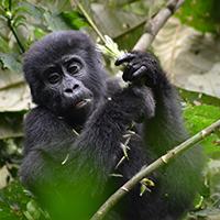 Voyage à moto au Rwanda avec Monsieur Pingouin Gorille