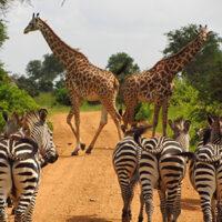 voyage-moto-Tanzanie-Monsieur-Pingouin-girafe-zebre